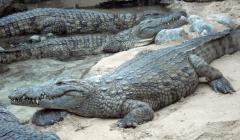 crocodile-1.jpg