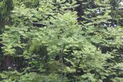 j2-acacias.JPG